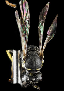 Hylaeus georgicus, M, back 1, 320133_2013-01-09-16.55.52 ZS PMax