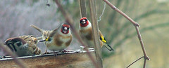 - Damn paparazzi...! (granada_turnier) Tags: bird animal funny goldfinch paparazzi tengelic