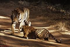An encounter with wild Royal Bengal Tigers (Quasar1270) Tags: india tigers maharashtra tadoba royalbengaltiger tigersinthewild