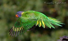 Flexing (Greg John Oz) Tags: colour green birds australia rainbowlorikeets larrikin blinkagain bestofblinkwinners blinksuperstars
