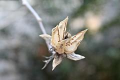 Dried (Read2me) Tags: winter flower dof blossom bokeh seed dried gamewinner challengeyouwinner 3waychallengewinner friendlychallenges thechallengefactory herowinner superherochallengewinner giveusyourbestshot pregamechallengewinner 522013week4