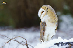 The Teaching Owl has cold feet. (sarniebill1) Tags: copyright ngc bob full npc barnowl coldfeet markinch supershot heartshapedface balbirniepark specanimal alrema coth5 5wonderwall sarniebill1 sunrays5 balremabirdsofprey balrema owlinthesnow nigelwedge