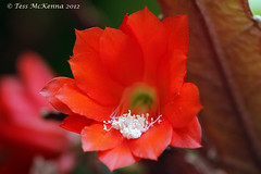 Botanic Gardens 129 copy Explore Jan 24, 2013 #14 (Tess Mc Kenna Home) Tags: flowers red flower macro nature closeup cacti botanical flickr blossom ngc cannon botanicgardens nationalbotanicgardensglasnevindublin botanicgardensglasnevindublin9