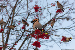 Bohemian Waxwings (birdorable) Tags: cute bird bohemian waxwing bohemianwaxwing birdorable