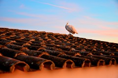 Peacock on the roof (Paulo N. Silva) Tags: roof sunset orange peacock