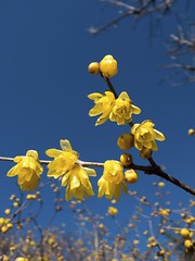 Wintersweet (kura51) Tags: winter japan tokyo january azure   x10 wintersweet  2013  jindaibotanicalpark