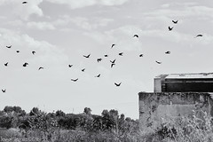 Birds of a feather (The Whisperer of the Shadows) Tags: birds pajaros black negro blancoynegro blackandwhite byn bnw bw landscape paisaje lamancha vicario ciudadreal flock bandada 100mm building edificio geotagged