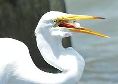 Great Egret (hennessy.barb) Tags: egret greategret whiteegret wadingbird white fishing eating catch
