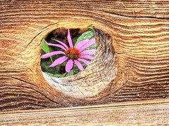 Peek-A-Boo (clarkcg photography) Tags: wood woodgrain hole peephole peek flowers purple creative circle layer wave oklahoma echinacea summer angle