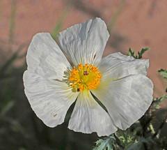 CAD0003055a (jerryoldenettel) Tags: 2016 argemone argemonepleiacantha eudicots guadalupecanyon hidalgoco n papaveraceae pricklypoppy ranunculales southwesternpricklypoppy wildflower flower poppy