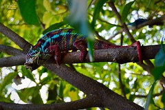 Chameleon chasing (Minh Son PHAN) Tags: chameleon color chasing animal zurich zoo intensify