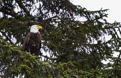 Bald Eagle (Haliaeetus leucocephalus) (rbbrdckybk) Tags: bald eagle haliaeetusleucocephalus perched profile pine tree rialto beach washington predator bird alert
