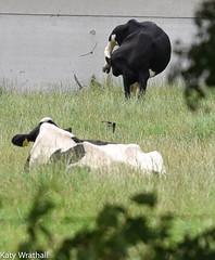Cows and swallows through the hedge (Katy Wrathall) Tags: 2016 eastriding eastyorkshire england july summer garden