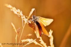 Orangeade (PhotOw'graphie) Tags: papillon insecte nature faune sauvage miniature petit beau extrieur t soleil soir naturel libert libre