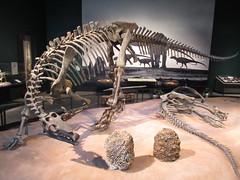 IMG_1717 (clare_and_ben) Tags: 2016 minnesota stpaul saintpaul sciencemuseumofminnesota fossil camptosaurus dinosaur