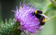 bourdon terrestre (bombus terrestris) (G.NioncelPhotographie) Tags: bourdon terrestre bombus terrestris insecte