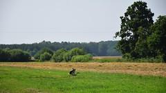 view with a stork (JoannaRB2009) Tags: stork bocian nature landscape view green trees meadow grass bird dolinabaryczy riverbaryczvalley dolnyśląsk polska poland