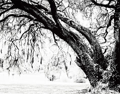 """The Live Oak"" (dijkase) Tags: tree oak sillouette monochrome digital art showkasephotography"