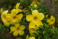 yellow bellflowers (VioletHippie) Tags: malaysia borneo banting iban headhunter d750 fullframe nikon photo color flowers nature animal life
