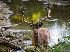 Parc Naturel Aquanature #1 (Sbastien Golhen) Tags: daims canon bretagne breizh bzh breton brittany 70200f28 sigma70200 sbastiengolhen sigma 600d nature