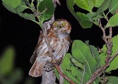 Cabur / Ferruginous Pygmy-owl (anacm.silva) Tags: cabur ferruginouspygmyowl owl mocho coruja ave bird wild wildlife nature natureza naturaleza birds aves pantanal brasil brazil glaucidiumbrasilianum