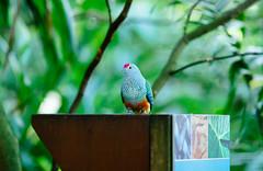 Colourful pigeon-like bird (VirtualWolf) Tags: animal australia bird bokeh canonef135mmf2lusm canoneos7d equipment mosman newsouthwales places sydney tarongazoo techniques wildlife