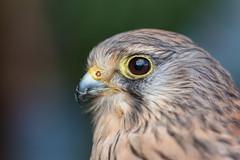 Kestrel portrait (Mibby23) Tags: kestrel bird prey raptor aylesbury buckinghamshire canon 70d 100mm