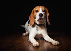 Biggles' 8th Birthday Portrait [IMG_1237] (GammyKnee) Tags: beagle strobist woodfloor portrait