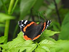 Atalanta (Vanessa atalanta) (Frank Berbers) Tags: insect lepidoptera falter schmetterling butterfly papillon dagvlinder tagfalter admiraalvlinder nummervlinder atalanta nymphalidae nymphalinae edelfalter admiral redadmiral vulcain vanessaatalanta macro nikoncoolpixp610 zuidlimburg