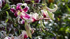 Morning Light DSL9685 (iloleo) Tags: lily orienpet garden bokeh summer nikond7000 colourful nature flowers