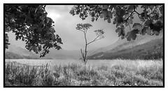 Buttermere Lone Tree (loftylion9) Tags: grasmere lakedistrict sunrise mist sunset lonetree tilberthwaite castleriggstonecircle langdalepikes