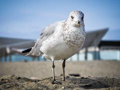 (Majka Kmecova) Tags: seagull sand ocean summer sunday birds bird animal photo photography newyork beach usa us unitedstatesofamerica animalphotography animalportrait bluesky ny nikon nikond5000