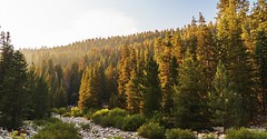 Forest sunset (Tom -) Tags: forest sunset tree sequoia national park
