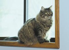 Puff in the Window (dblees) Tags: cat gato chat kitty  koka kat kissa katze gatto kot pisic maka katt  kedi con mo       gata