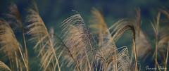 Golden Grasses (Sumarie Slabber) Tags: grass nature nikon philippines sumarieslabber gold