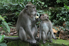 IMG_1319 (oowhatsthatdoo) Tags: bali indonesia monkey forest eating banana
