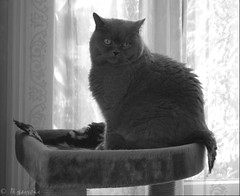 Vinci (Mystycat =^..^=) Tags: vinci vincidelachzine chat cat gato gatto katze kitty britishshorthair british shorthair bleu