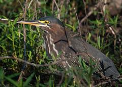 Immature Green Heron (VisualUniverse) Tags: hurst texas unitedstates us green heron bird nikond500 nikon500mmf4efledvr nikontc14eiii