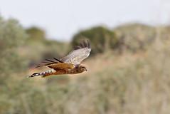 Spotted Harrier (aaardvaark) Tags: 201606021d3075spottedharrier27x17 spottedharrier circusassimilis qaaline hayrivertrack nt australia