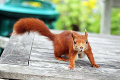 Red Squirrel (tigertim1950) Tags: redsqirrel tresco
