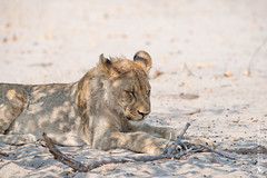 DSC_3552.JPG (manuel.schellenberg) Tags: namibia animal etosha nationalpark lion