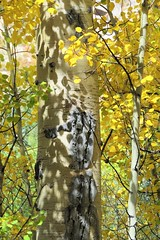 Shadows (Patricia Henschen) Tags: chaffeecounty sawatch range mountains mountain aspen autumn fall color gold silver mine mines mining ruins ghosttown stelmo mtprinceton chalkcreek nathrop colorado canyon sanisabelnationalforest leafpeeping fallcolor pathscaminhos county road backroad