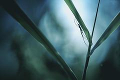 Longiligne (Hexilene) Tags: sigma spider passion insecte araigne macro nature nikon nikonpassion nikond750 nuit proxy plante proxi blueribbon bokey