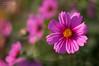 _DSC0203-Modifier.jpg (xpressx) Tags: bokeh 50mm nikon flowers passionphotonikon fleurs nd4 18 parc photographe lightroom nikond5000 nd8 nikkor flore d5000