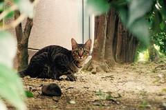 Today's Cat@2016-09-19 (masatsu) Tags: cat thebiggestgroupwithonlycats catspotting pentax mx1