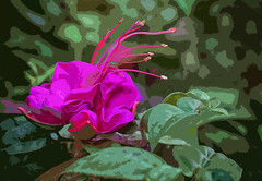 Fuschia (Jazpix) Tags: fuschia nikcollectionphotoshop pink green leaves outdoor nature stamens