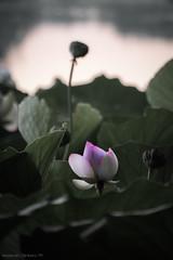 Sbuca il fior di loto (FolleMente) Tags: natura lotus fiordiloto nature grazie lombardia italia it