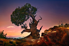 Ancient Juniper (D'ArcyG) Tags: utah canyonlands southwest desert mountains rocks west sunset old ancient aged tree juniper gnarled