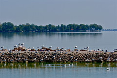 Grand Lake, Celina, Ohio (beccafromportland) Tags: lake grandlake ohio celinaohio toxic algae algaebloom seagulls