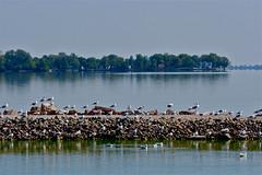 Grand Lake, Celina, Ohio (beccafromportland) Tags: lake grandlake ohio celinaohio toxic algae algaebloom seagulls